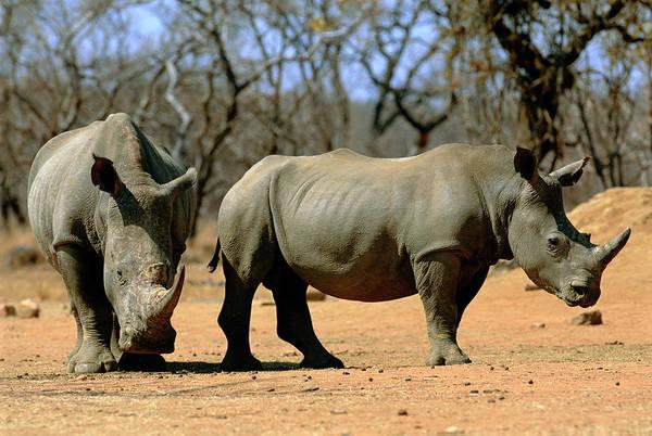 Rhinoceros Photograph - White Rhinoceroses by Tony Camacho/science Photo Library
