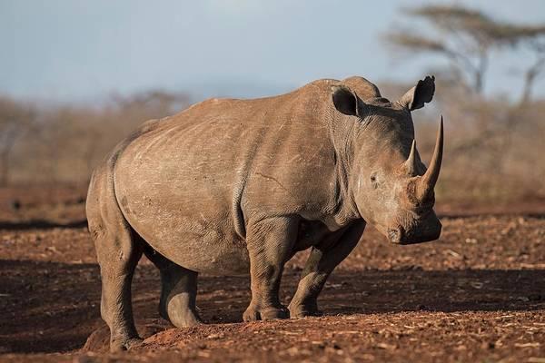 Hoof Photograph - White Rhinocreos by Tony Camacho