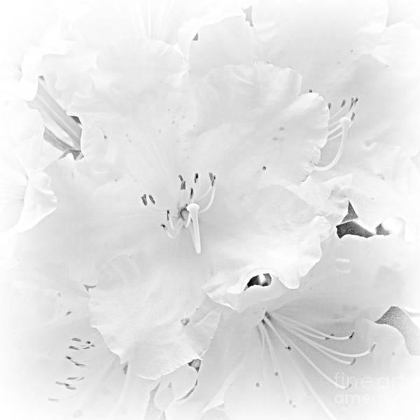 Photograph - White  Rhoadie by Barbara Henry