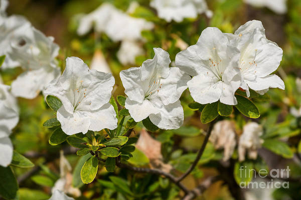 Fielder Photograph - White Rhododendron Flowers In Bloom. by Jamie Pham