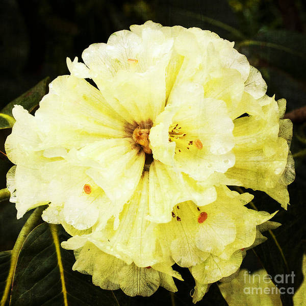 Photograph - White Rhododendrons by Brian Roscorla