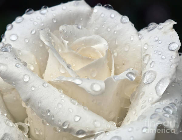 White Rose After The Rain Art Print