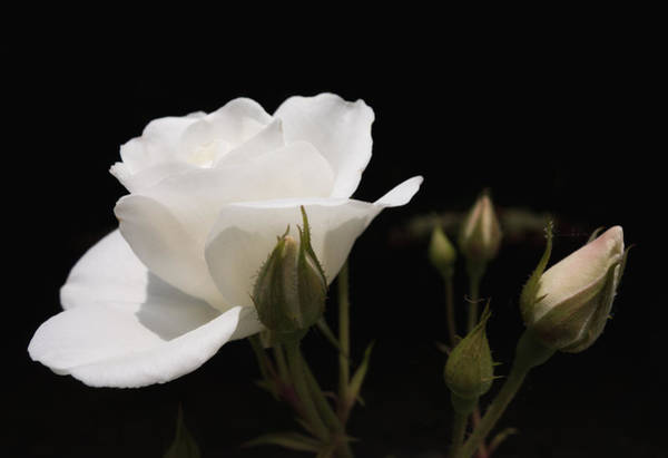 Photograph - White Rose Black Background by Matthias Hauser
