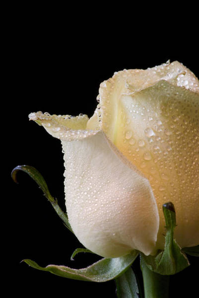 Don Johnson Photograph - White Rose Close-up by Don Johnson