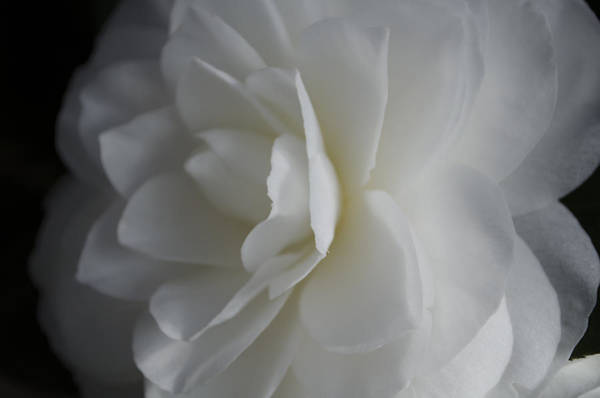 Photograph - White Rose by Dan Hefle