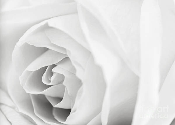 Wall Art - Photograph - White Rose by Elena Elisseeva
