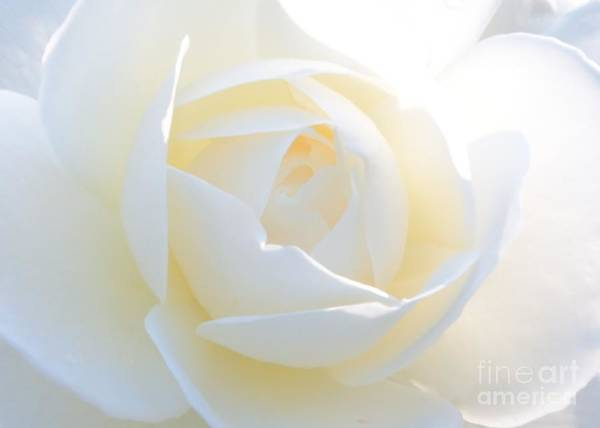 Photograph - White Rose Energy by Carol Groenen