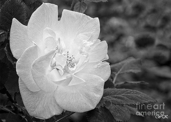 Photograph - White Rose In Black And White by Wanda Krack