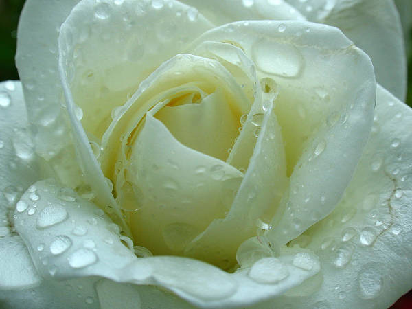 Photograph - White Rose by Juergen Roth