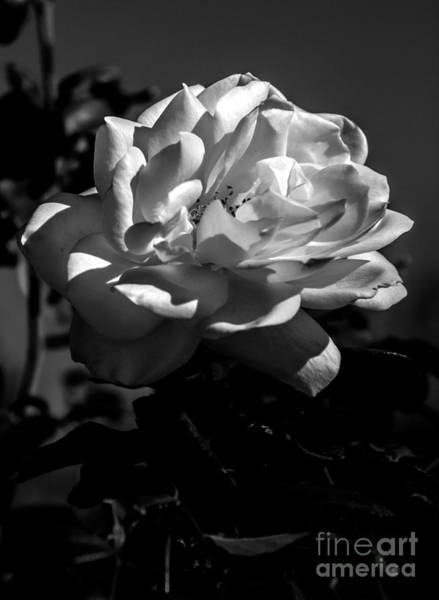 Rosaceae Wall Art - Photograph - White Rose by Robert Bales