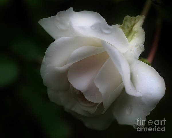 Photograph - White Rose With Raindrops by Smilin Eyes  Treasures
