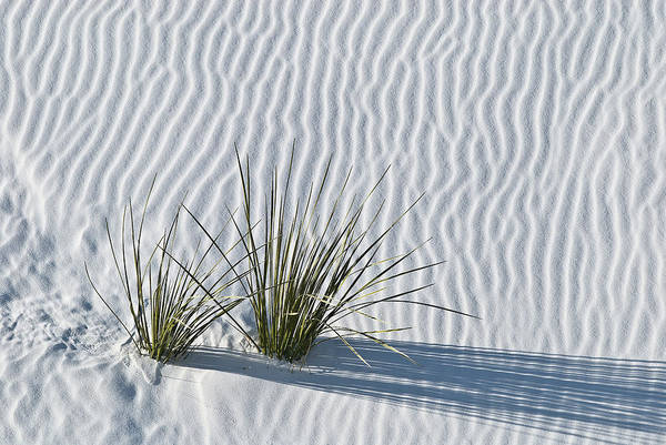 Wall Art - Photograph - White Sands Grasses by Steve Gadomski