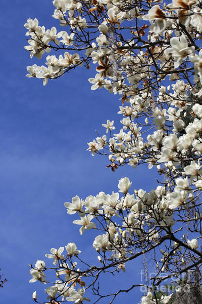Saucer Magnolia Photograph - White Saucer Magnolia With Blue Sky by Carol Groenen