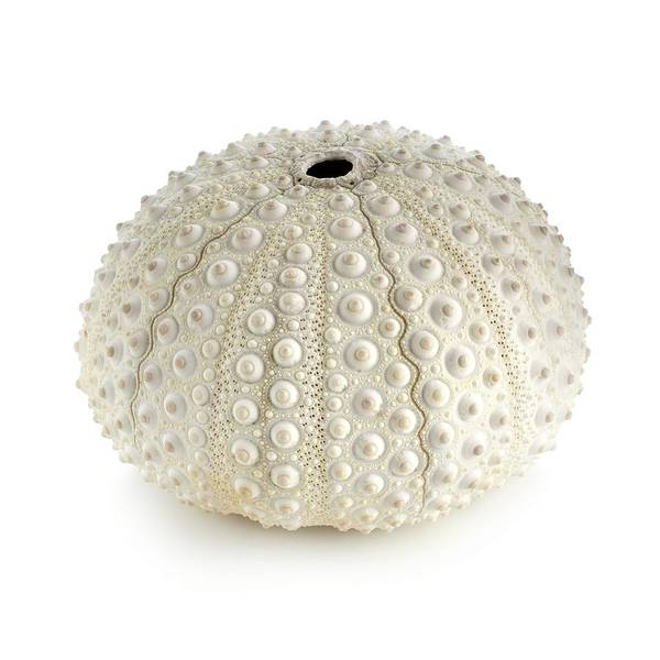Marine Biology Wall Art - Photograph - White Sea Urchin Shell by Science Photo Library
