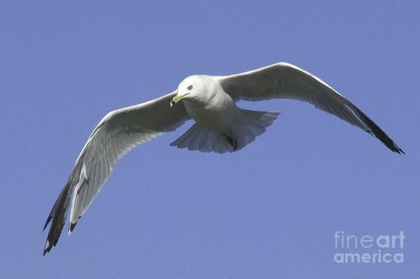 Photograph - White Seagull In Flight by Mae Wertz