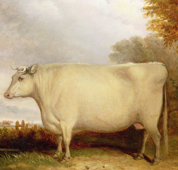 Naive Wall Art - Painting - White Short-horned Cow In A Landscape by John Vine