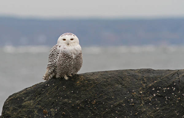Photograph - White Snowy Owl by Juergen Roth