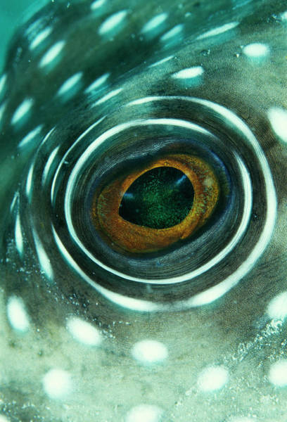 Mabul Photograph - White-spotted Pufferfish Eye by Matthew Oldfield/science Photo Library