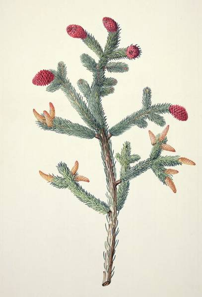Spruce Photograph - White Spruce (picea Glauca) by Natural History Museum, London/science Photo Library
