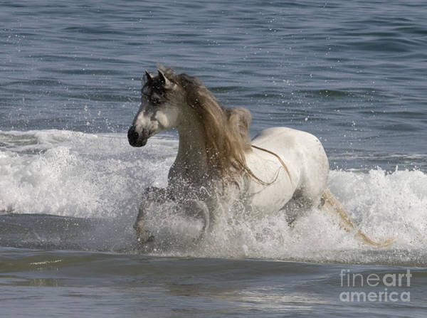 Andalusian Stallion Wall Art - Photograph - White Stallion In The Ocean Waves by Carol Walker