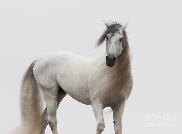 Andalusian Stallion Wall Art - Photograph - White Stallion Turning At Dawn by Carol Walker
