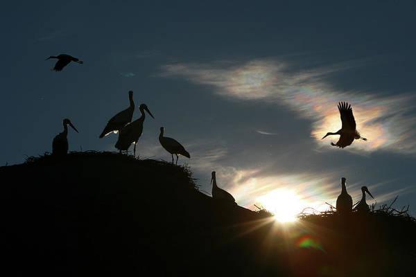 White Stork  Ciconia Ciconia Art Print