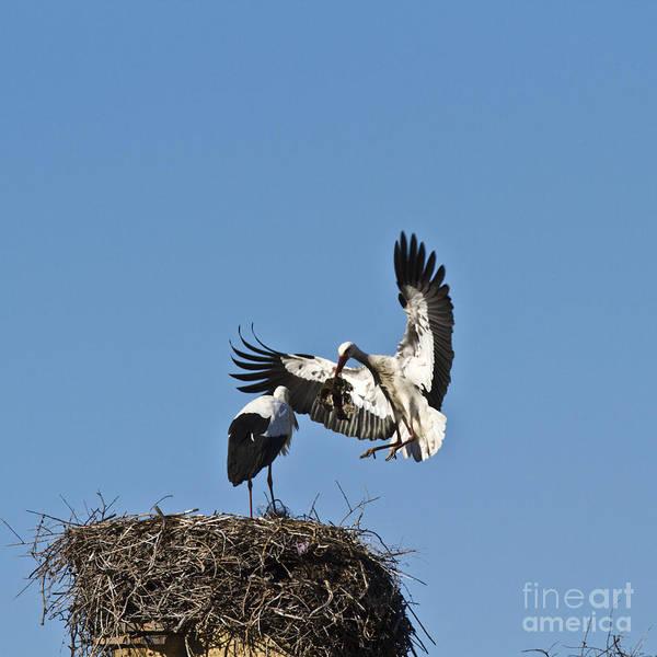 Photograph - White Stork-couple Nesting by Heiko Koehrer-Wagner