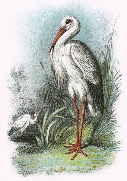 Ornithology Photograph - White Stork by English School