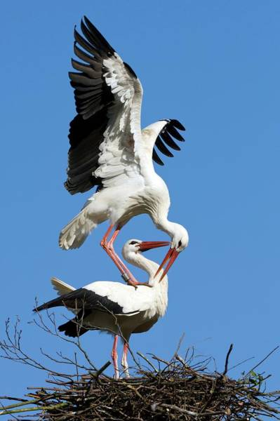 Courtship Display Photograph - White Storks Courting by Bildagentur-online/mcphoto-rolfes