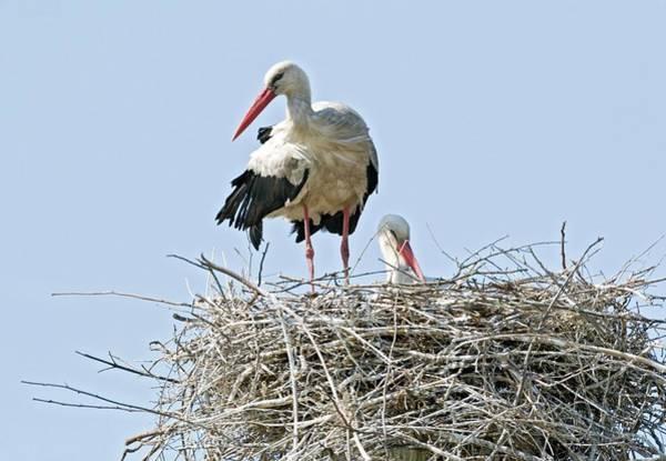 White Storks Nesting Art Print