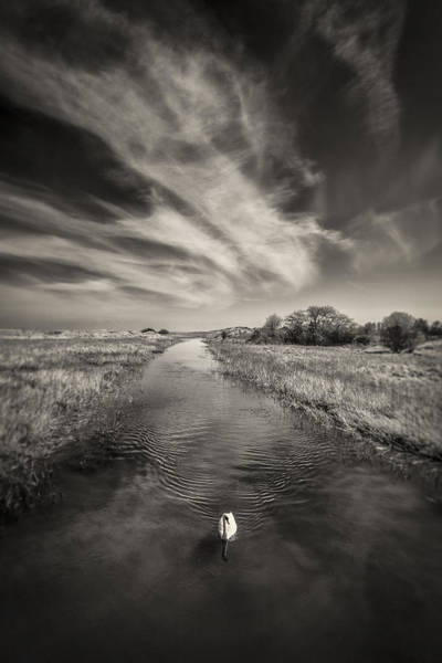 Photograph - White Swan by Dave Bowman