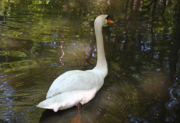 Lowcountry Digital Art - White Swan Iv by Suzanne Gaff