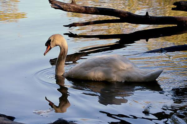 Lagoon Digital Art - White Swan by Maria Angelica Maira
