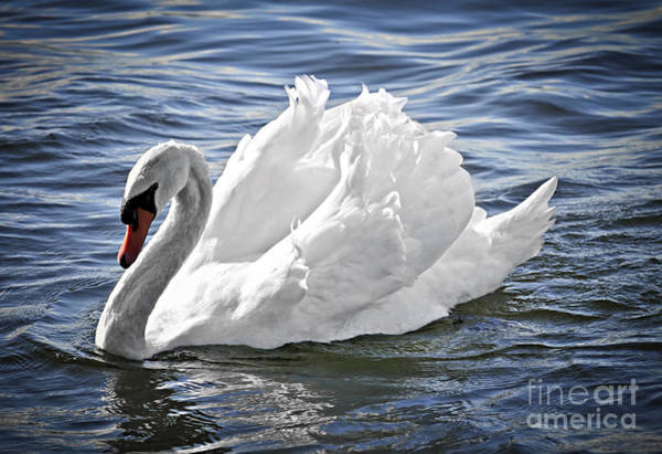 Wall Art - Photograph - White Swan On Water by Elena Elisseeva