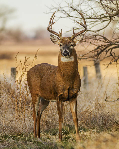 White-tail Buck Art Print