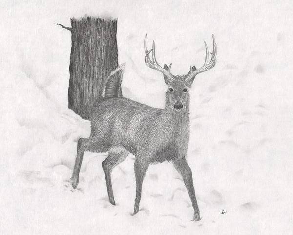 White Tailed Deer Drawing - White Tail Deer by Stephen Brissette