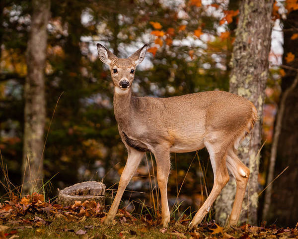 Photograph - White Tail In Autumn by Melinda Ledsome