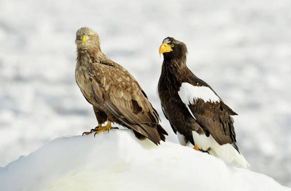 Behaviour Photograph - White-tailed And Steller's Sea Eagles by Dr P. Marazzi