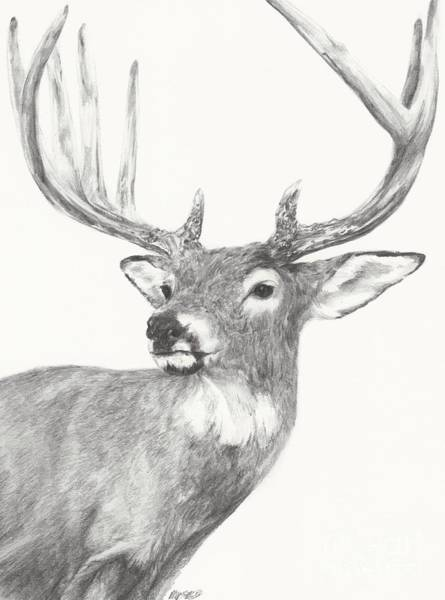 White Tailed Deer Drawing - White Tailed Buck Study by Meagan  Visser