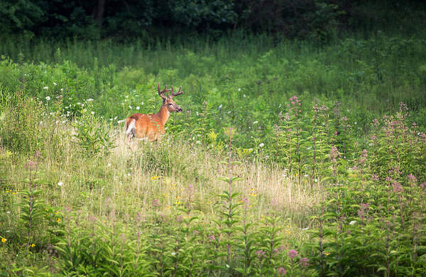Photograph - White-tailed Deer by Dale Kincaid