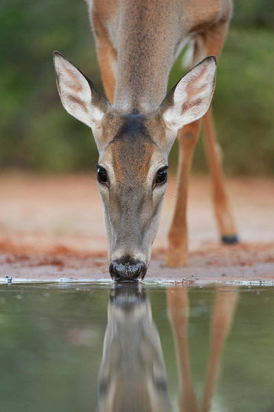 Wall Art - Photograph - White-tailed Deer Drinking, South by Rolf Nussbaumer