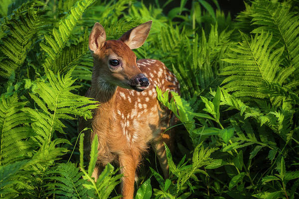 Fawn Photograph - White-tailed Deer Fawn In The Ferns by Danita Delimont