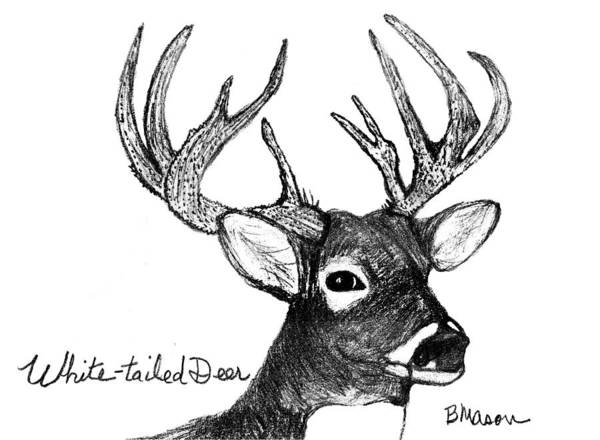 White Tailed Deer Drawing - White-tailed Deer Head by Becky Mason