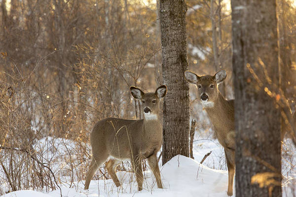 Photograph - White-tailed Deer by Linda Arndt