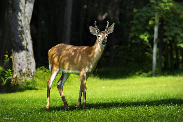 Photograph - Young Whitetail Buck by Christina Rollo