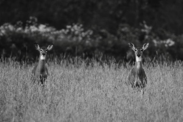 Wall Art - Photograph - White-tailed Doe Duo by Bruce J Robinson