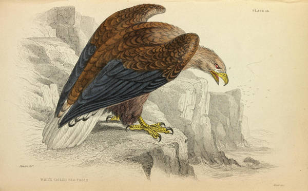 Accipitridae Wall Art - Photograph - White-tailed Eagle by Natural History Museum, London