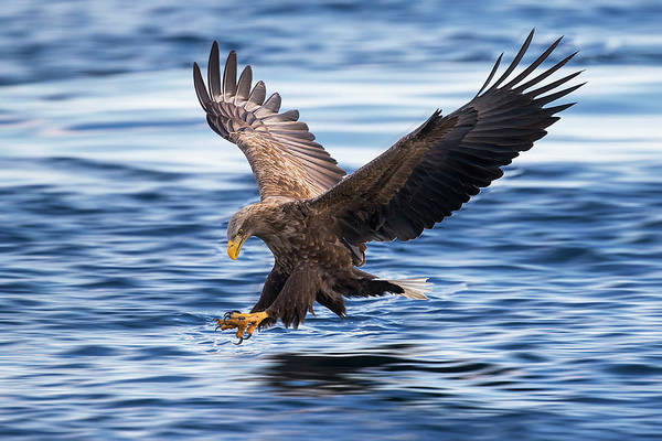 Diving Photograph - White-tailed Eagle by Raymond Ren Rong