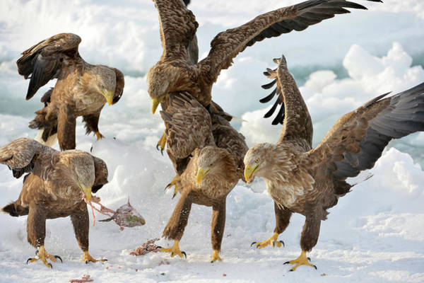 Behaviour Photograph - White-tailed Eagles With Prey by Dr P. Marazzi