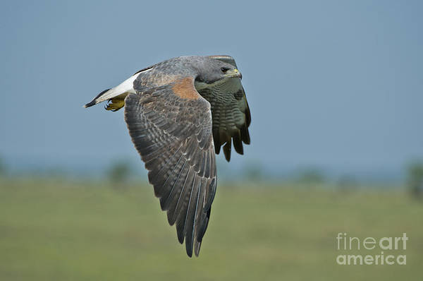 Falconiformes Photograph - White-tailed Hawk by Anthony Mercieca